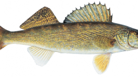 lake-erie-charter-walleye-crop