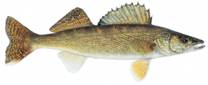 lake-erie-charter-walleye-crop