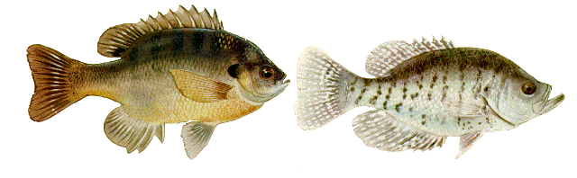 lake-erie-charters-panfish