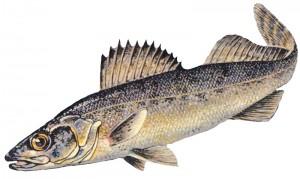 walleye-charters