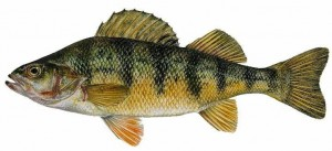 perch-fishing-charter-lake-erie